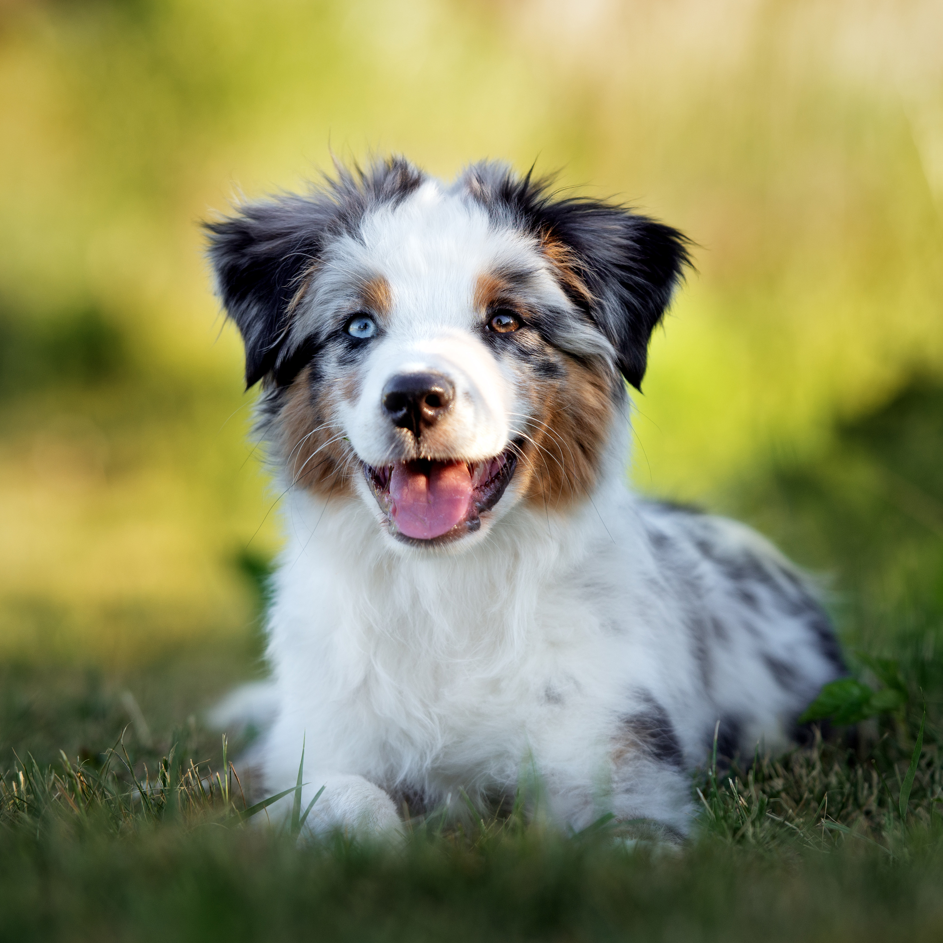 Australian Shepherd Puppies Animal Kingdom Arizona