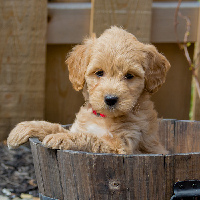 Goldendoodle Puppies Animal Kingdom Arizona