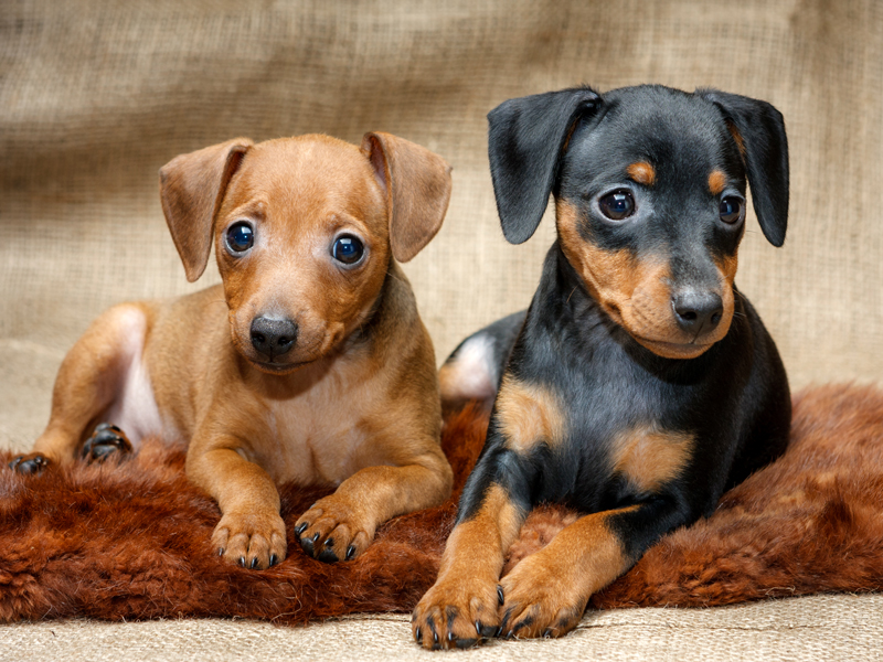 Miniature Pinscher Puppies Animal Kingdom Arizona