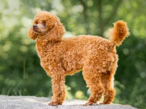 Miniature Poodle Puppies For Sale Animal Kingdom Arizona
