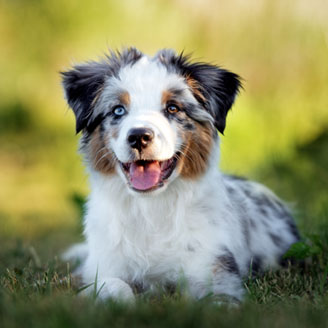 Miniature Australian Shepherd (Mini Aussie) Puppies Animal Kingdom Arizona