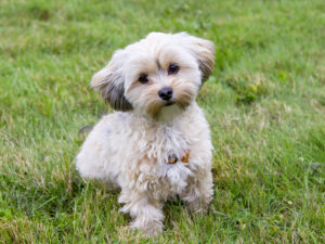 Morkie Puppies Puppies For Sale Animal Kingdom Arizona