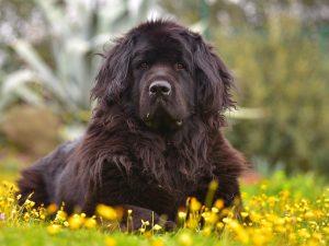 Newfoundland (Newfie) Puppies For Sale Animal Kingdom Arizona