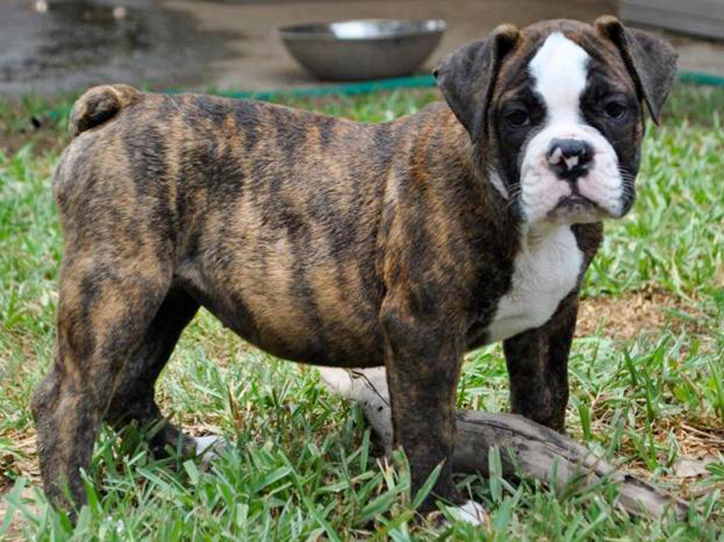 Old English Bulldogge Puppies Animal Kingdom Arizona