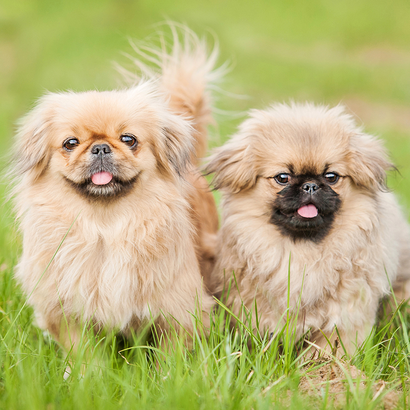 Pekingese Puppies Animal Kingdom Arizona