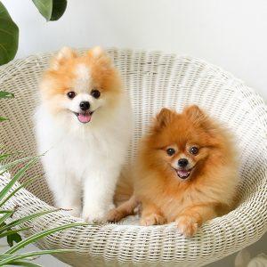 Pomeranian Puppies For Sale Animal Kingdom Arizona