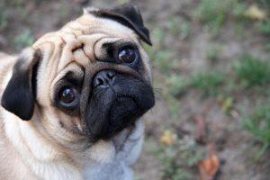 Pug puppy sitting in grass