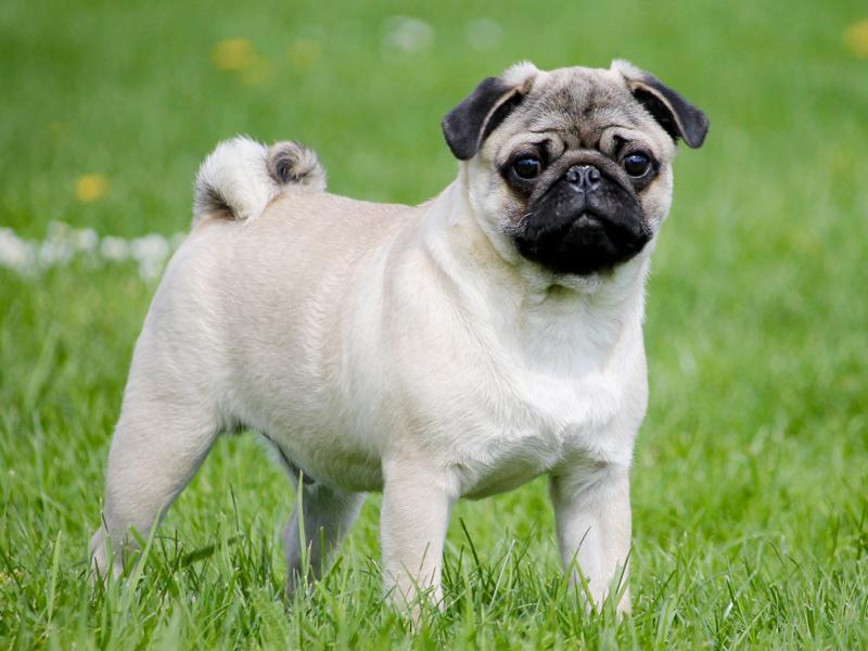 Pug Puppies Animal Kingdom