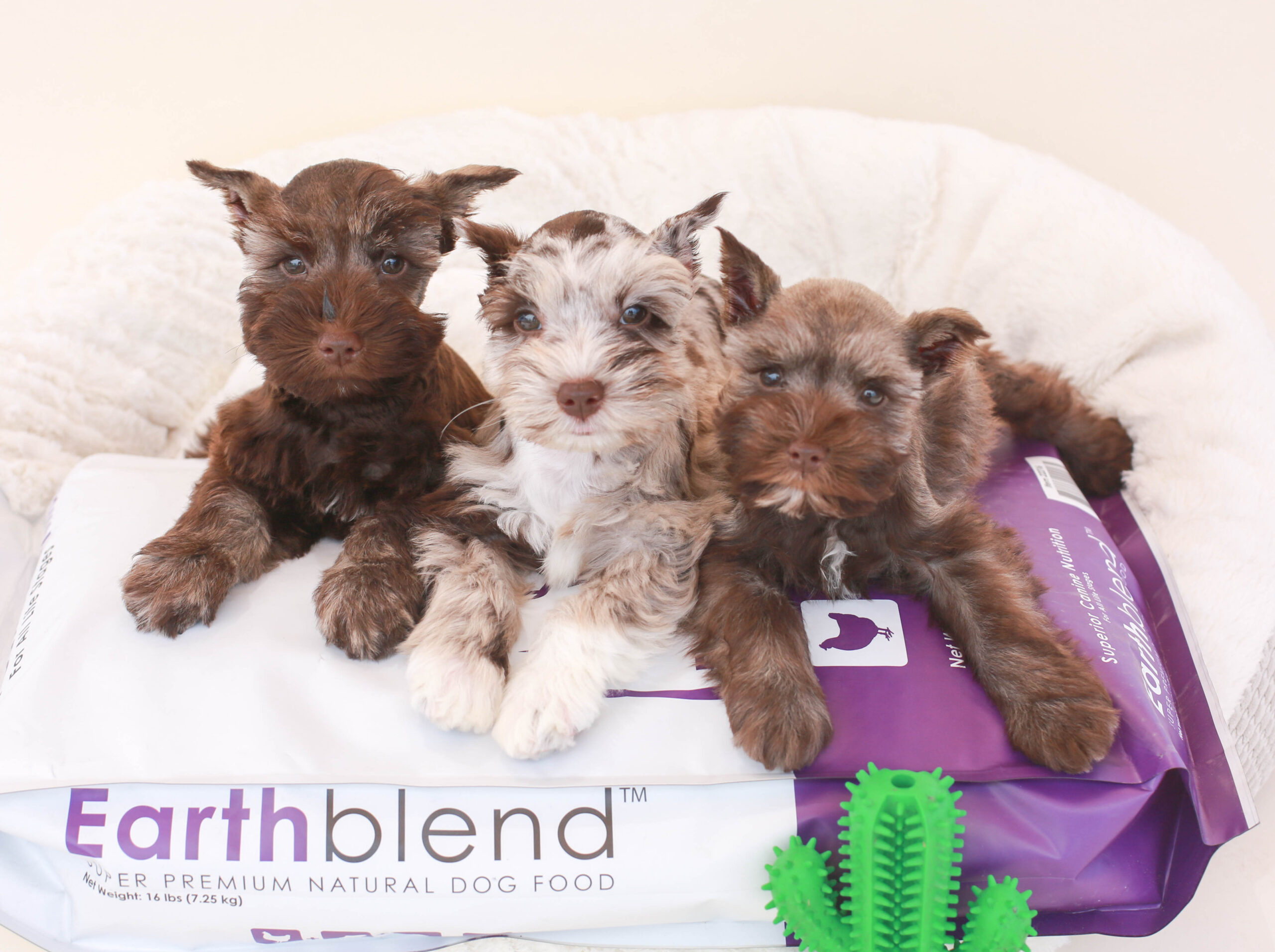 Schnauzer puppies with Earthblend bag