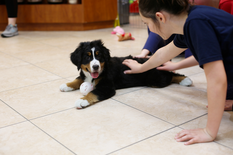 Customer socializes with a Bernese at a Puppy Party