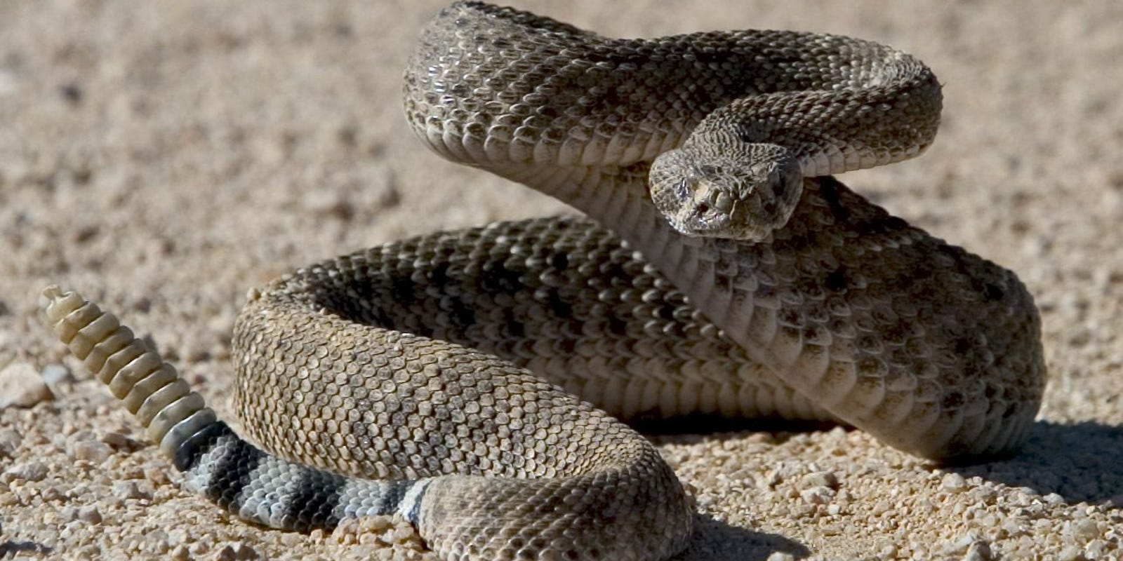 Picture of a Rattlesnake in the Desert