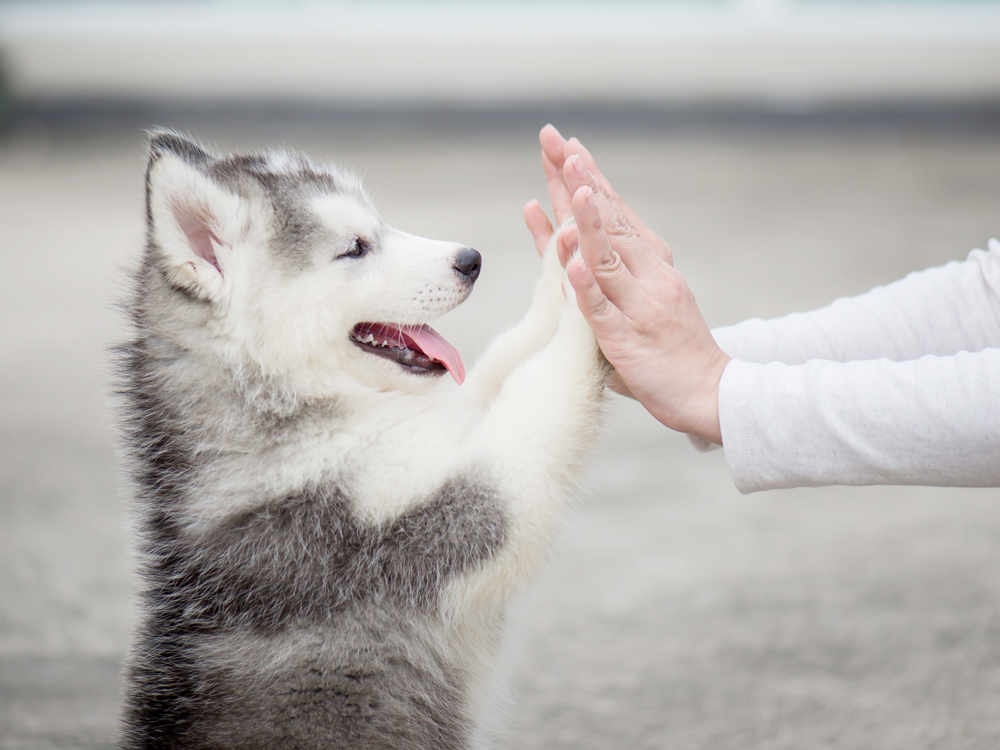 Recommended Trainers Puppies Animal Kingdom Arizona