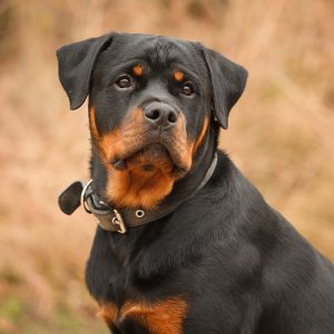 Rottweiler Puppies For Sale Animal Kingdom Arizona