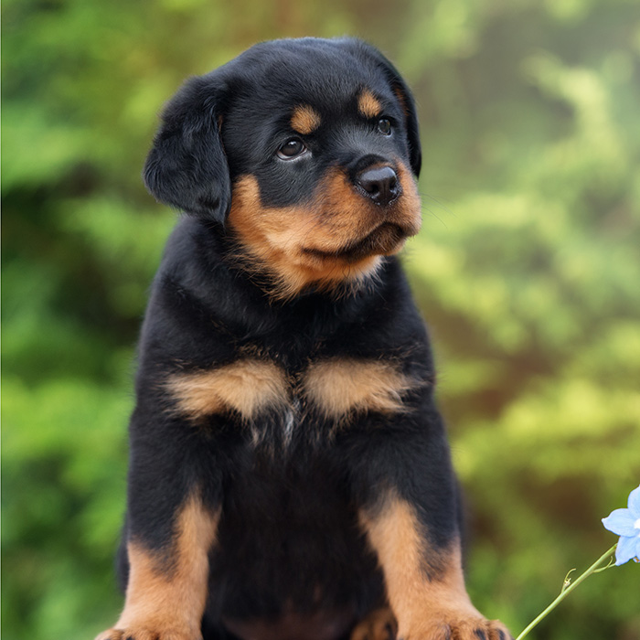 Rottweiler Puppies Animal Kingdom Arizona
