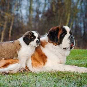 Saint Bernard Puppies For Sale Animal Kingdom Arizona