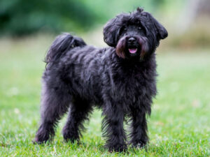 Schnoodle Puppies For Sale Animal Kingdom Arizona