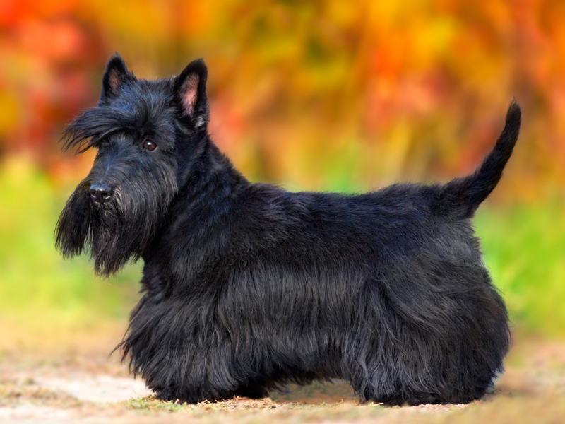 Scottish Terrier Puppies For Sale Available In Tucson Phoenix Az