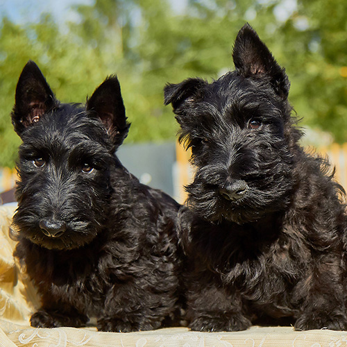 Scottish Terrier Puppies Animal Kingdom Arizona