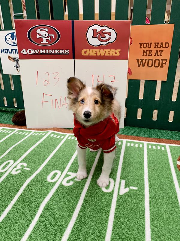 Shetland Sheepdog MVP