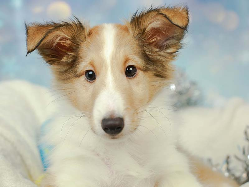 Shetland Sheepdog (Sheltie) Puppies Animal Kingdom Arizona