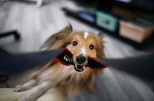 Adorable Sheltie Dog