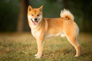 Shiba Inu Puppies For Sale Animal Kingdom Arizona