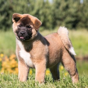 Shiba Inu Puppies Puppies For Sale Animal Kingdom Arizona