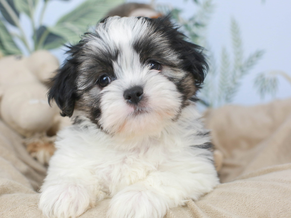 Shih Poo Puppies Animal Kingdom Arizona