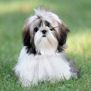 Shih Tzu Puppies For Sale Animal Kingdom Arizona