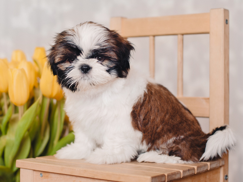 Shih Tzu Puppies Animal Kingdom Arizona