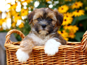 Shorkie Puppies For Sale Animal Kingdom Arizona