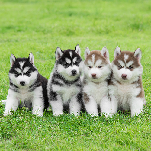 Siberian Husky Puppies Animal Kingdom Arizona