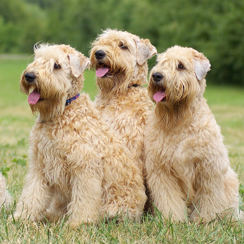 Soft Coated Wheaten Terrier Puppies For Sale Available In Phoenix Az