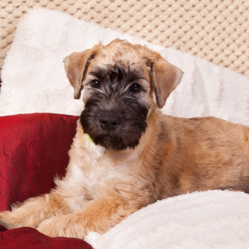 Soft Coated Wheaten Terrier Puppies Animal Kingdom Arizona