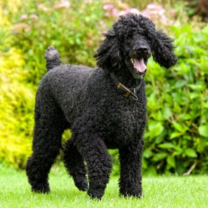 Standard Poodle Puppies For Sale Available In Phoenix