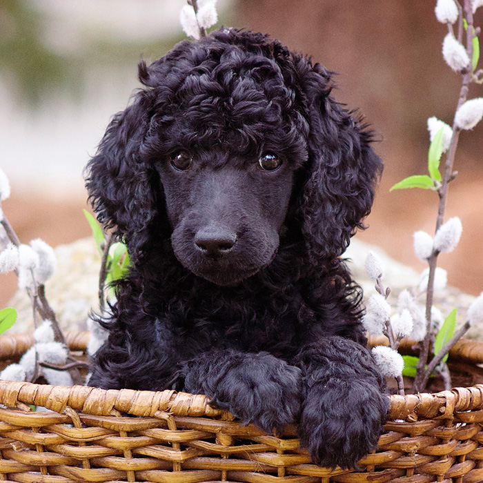 Standard Poodle Puppies Animal Kingdom Arizona