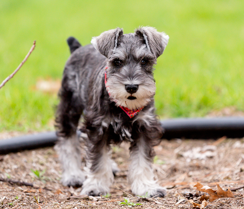 Standard Schnauzer Puppies Animal Kingdom Arizona