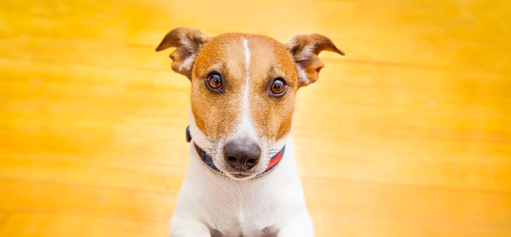 Jack Russell Terrier Dog Sitting on Floor