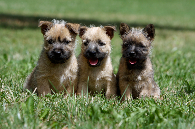 Cairn Terrier Puppies Animal Kingdom Arizona