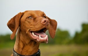 Vizsla dog in a grassy field