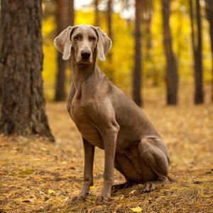 Weimaraner Puppies For Sale Animal Kingdom Arizona