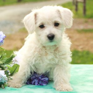 Westiepoo Puppies For Sale Animal Kingdom Arizona