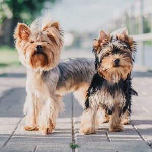 Yorkshire Terrier Puppies For Sale Animal Kingdom Arizona