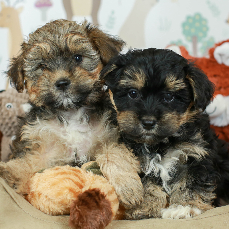 Yorkiepoo Puppies Animal Kingdom Arizona