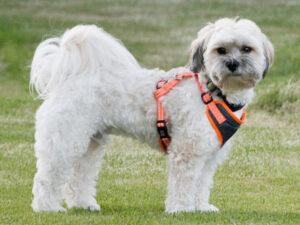 Zuchon (Teddy Bear) Puppies For Sale Animal Kingdom Arizona